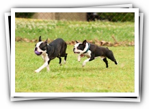 boston terrier dog birthday party
