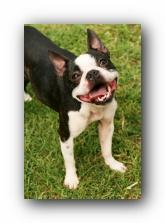 kacey boston terrier dog birthday party