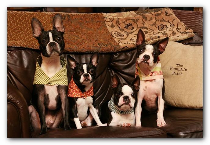 boston terriers pet friendly cabin pigeon forge gatlinburg tennessee