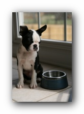 Howie the boston terrier puppy