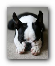 howie the boston terrier puppy