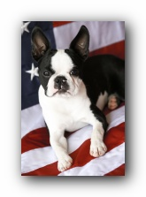 4th of July Boston Terrier Puppies