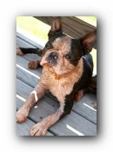 howie the sunwoods boston terrier puppy