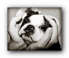 howie the boston terrier taking a bath