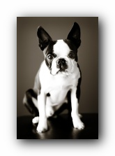 howie sunwoods boston terrier puppy