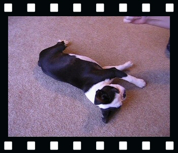 Howie this boston terrier puppy's trick video!