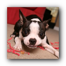 miley the boston terrier puppy
