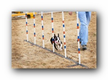 boston terrier agility pictures and videos
