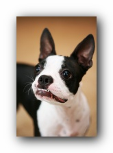 miley boston terrier puppy