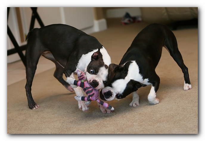 miley and howie | boston terrier puppies