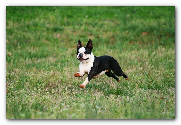 muddy boston terrier puppies