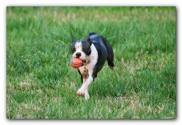 muddy boston terrier puppies