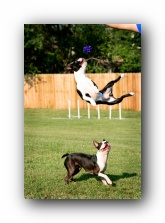 miley and howie - boston terrier puppies