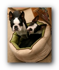 miley and howie boston terrier puppies