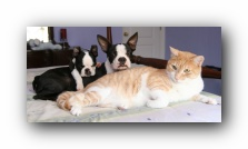 Miley and Howie - Boston Terrier Puppies - And Hobbes the Cat!