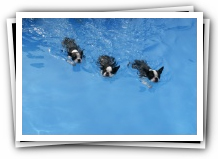 big spring park and swimming with boston terrier puppies