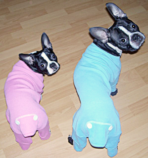 Kipper and Kaycee Boston Terrier Puppies