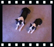 Miley and Howie - Boston Terrier Puppies - Trick Video