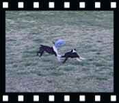 Howie and Miley fetch the frisbee